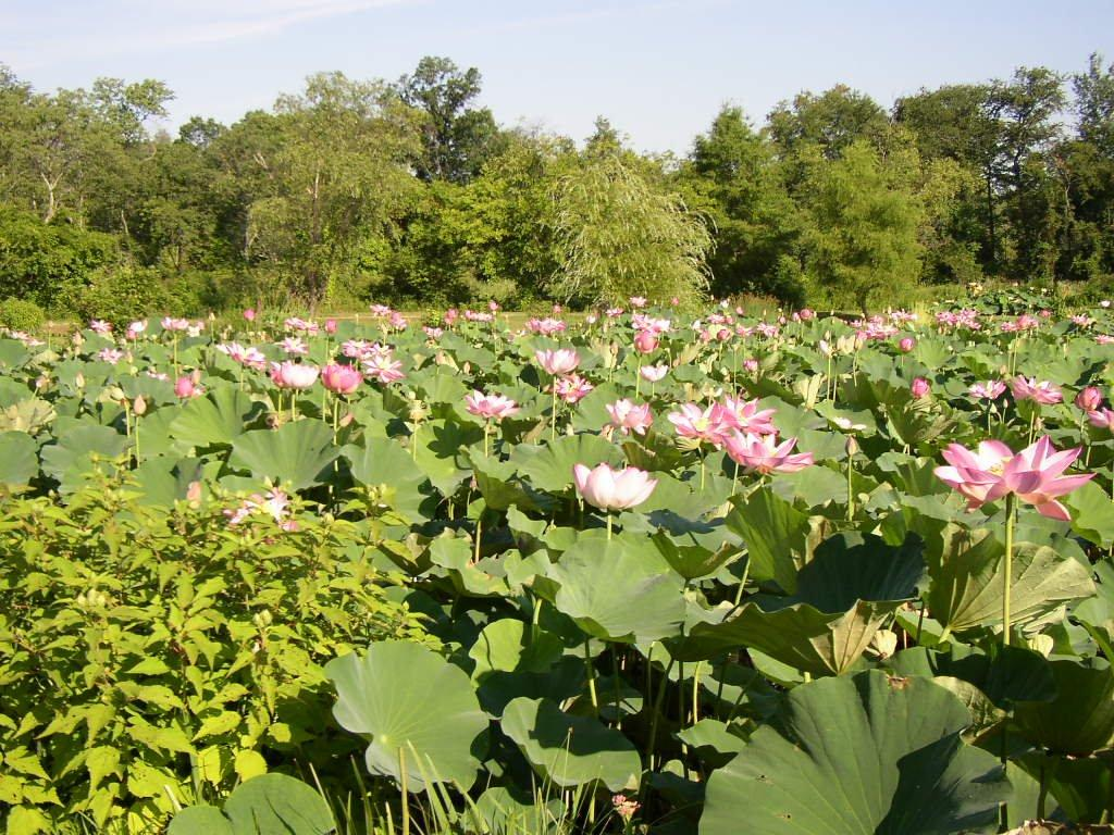 Treat Yourself To Lotus Blossoms Forest Hills Connection News And Life In Our Dc Neighborhood