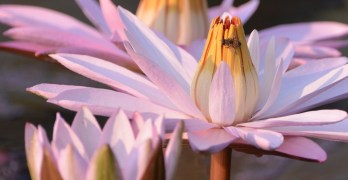Neighbors recommend: Lotus Festival at Kenilworth Aquatic Gardens