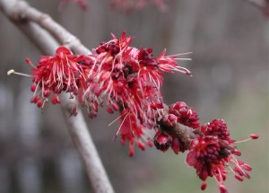 Red maple blossoms (photo courtesy of Wikimedia Commons)