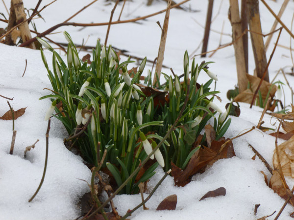 Snow drops in Rock Creek Park (photo by Marlene Berlin)