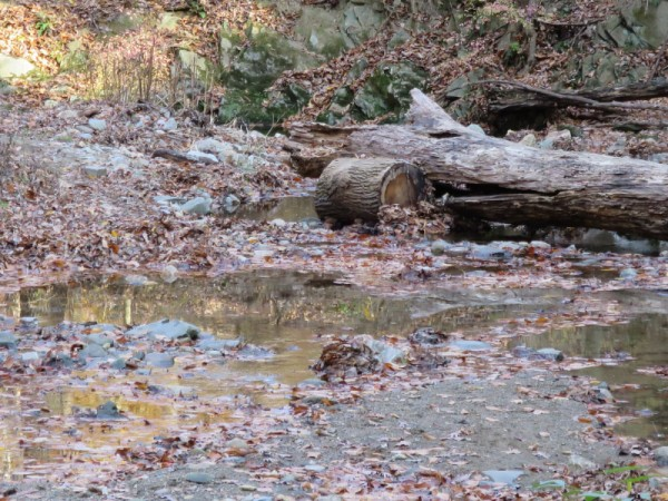 A fallen tree blocking the Soapstone streambed near Broad Branch Road.