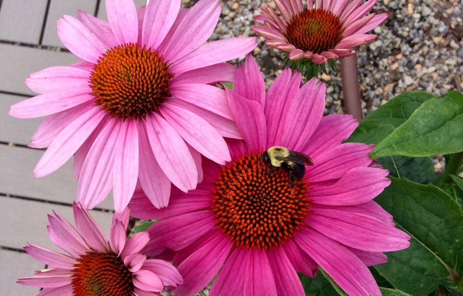 A bee finds UDC's rooftop garden. (photo by Sandy Farber)