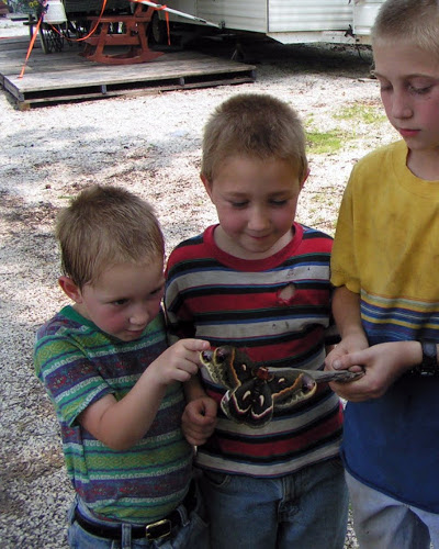 The cecropia moth delights kids of all ages once it emerges from its winter home. (photo courtesy of abundantnature.com)