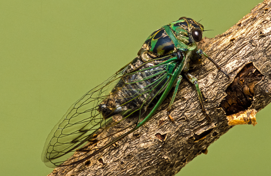 Dog day cicada (photo © SongsofInsects.com. Click here to listen to its song and learn more.