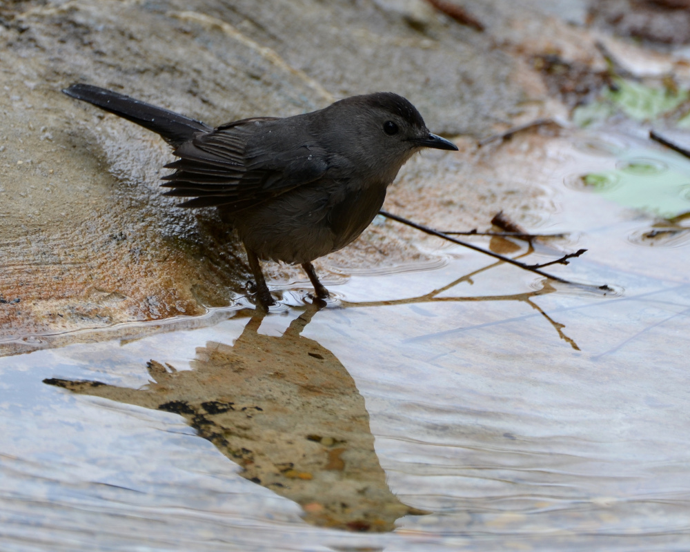 A gray catbird at the water