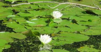 Photos: Lovely water lilies in Broad Branch Stream