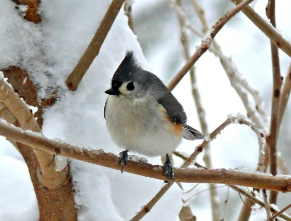 Puffed-up down feathers are keeping this titmouse warm. (photo courtesy of Larry Meade is the  president of the Northern Virginia Bird Club)