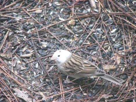 White-headed chipping sparrow