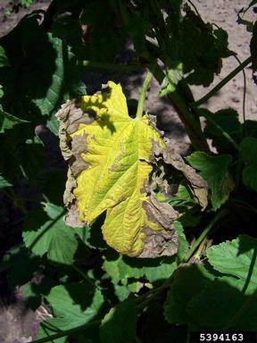 Verticillium wilt (Verticillium albo-atrum ) on common hop (Humulus lupulus ) - 5394163