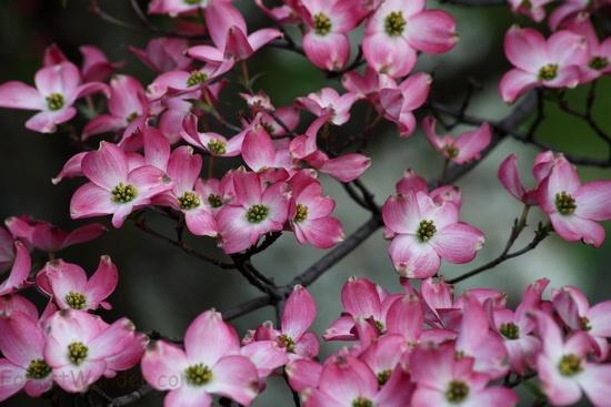 Spring Pink Bloom Tree