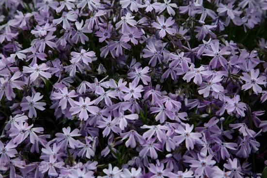 Spring Purple Creeping phlox Flowers