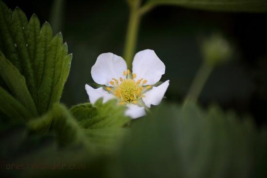 Spring Strawberry Blossom Flower