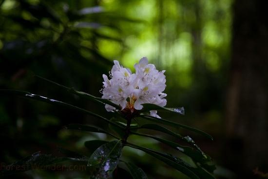 Mountain Trail Azalea Flower