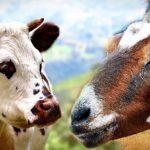 Leche cabra vs leche vaca, cual es mejor?