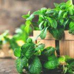 Alivia los dolores de cabeza y mejora la digestión: 8 beneficios de la hierbabuena