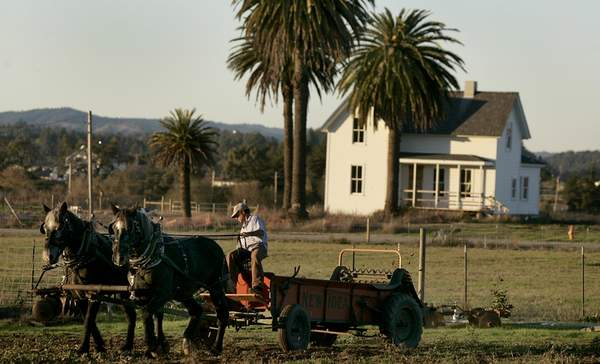 Percherons at Stone Farm in Santa Rosa