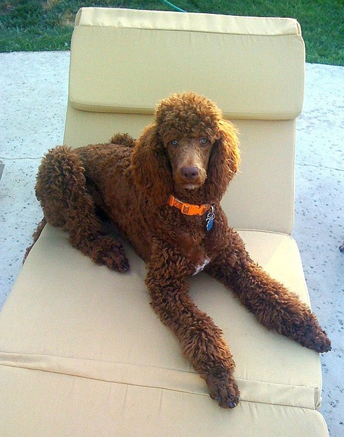 Camille the Red Standard Poodle poses for the camera on a Pennys Lounger with Sunbrella Cushion