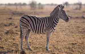 Zebra Hd Wallpaper