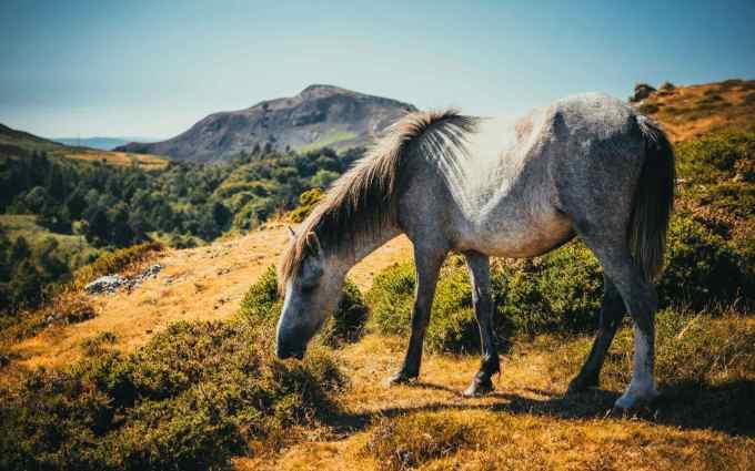 Arabian horse wallpaper