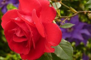 red rose hd wallpaper