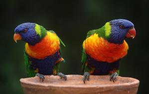 Colorful Parrots
