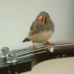 Bird on guitar