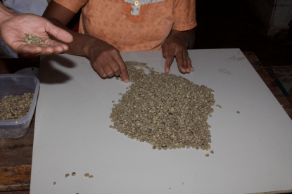 Grading the beans is done by hand. Defects are removed and sold to Starbucks… joking, they are used in instant coffee.