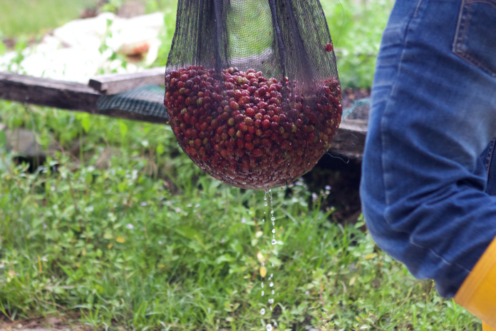 This is the wet process method for processing beans. First, you wash them…