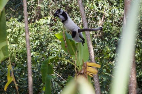 More leapin' lemurs