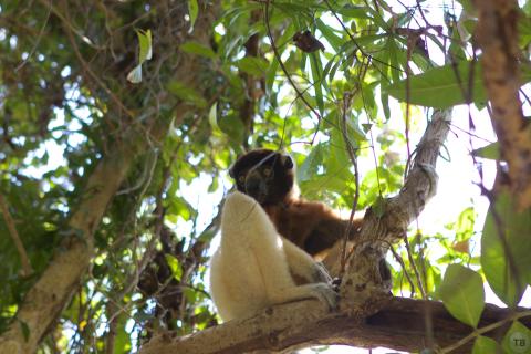 Chill lemur
