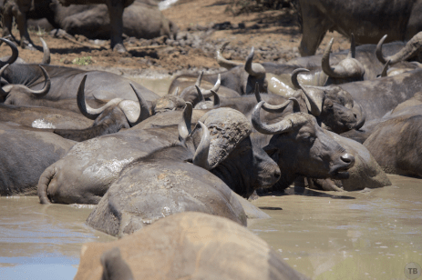 Male African Buffalo