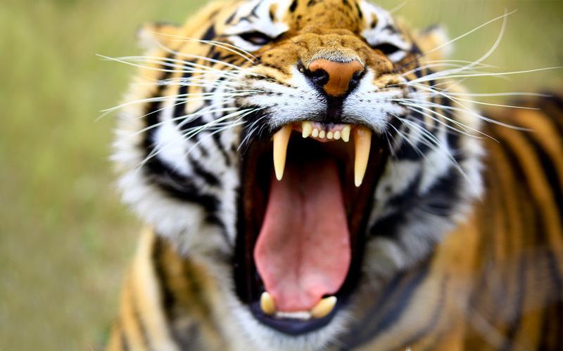 A Tigers Roar!