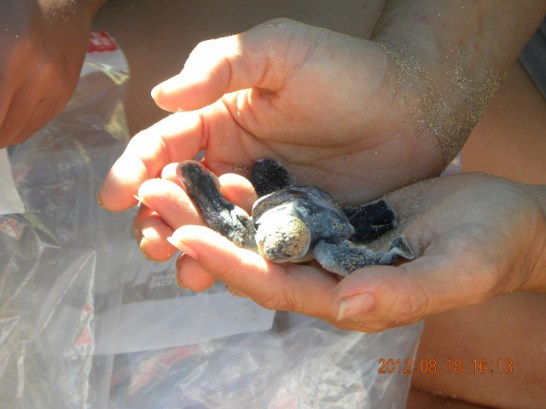 Threatened Green sea turtle hatchling