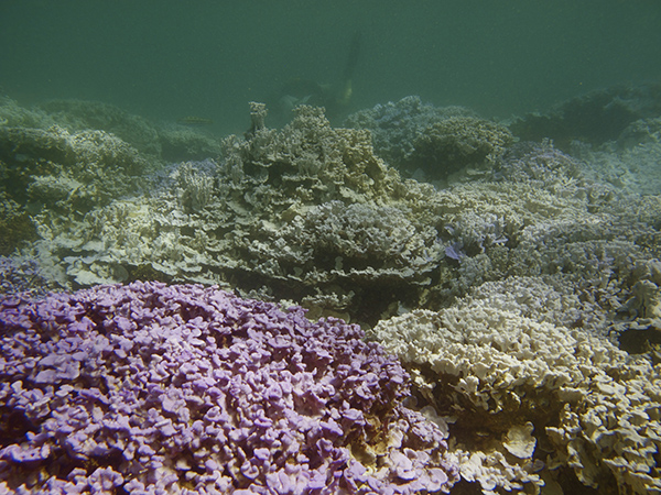 Bleached coral (Montipora flabellata) at Lisianski Island. All of the pale coral is bleached due to thermal stress. The lavender-colored coral in the left foreground retained its normal healthy Kpigmentation.
