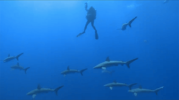 """Galapagos sharks at Lisianski, filmed while divers decompress. Following deep dives to 200-300 feet, divers cannot come directly to the surface, but must slowly decompress on their way to the surface or risk paralysis or death from """"the bends."""" Sharks often keep decompression from getting boring."""