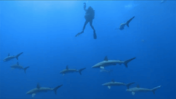 "Galapagos sharks at Lisianski, filmed while divers decompress. Following deep dives to 200-300 feet, divers cannot come directly to the surface, but must slowly decompress on their way to the surface or risk paralysis or death from ""the bends."" Sharks often keep decompression from getting boring."
