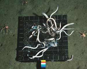 Hagfish and crustacean amphipods scavenging jellyfish baits in the deep sea.