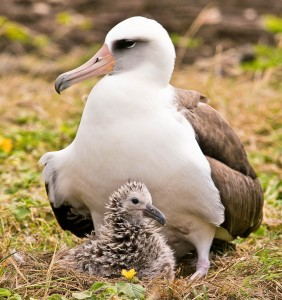 An adult Laysan albatross shelters its chick at Ka'ena Point Natural Area Reserve. Photo by Eric VanderWerf