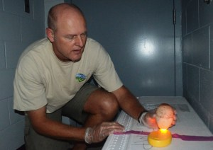 """Eric VanderWerf, a biologist with Pacific Rim Conservation, """"candles"""" a Laysan albatross egg at PMRF, Dec. 16, to determine viability for relocation to O'ahu. Photo by Stefan Alford"""