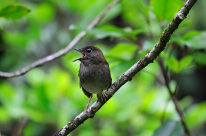 Puaiohi, or Small Kaua'i Thrush. Photo by Lucas Behnke.
