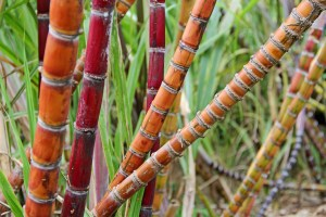 Sugar cane at Limahuli Garden and Preserve on Kaua'i's North Shore.