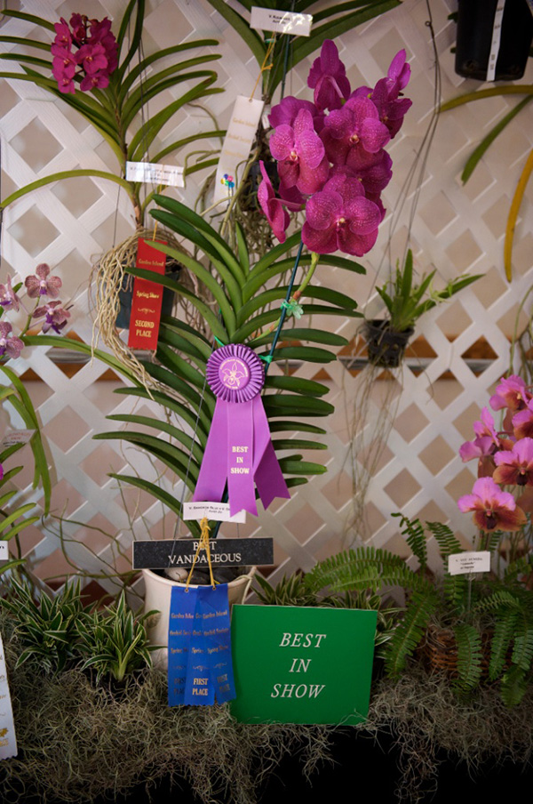 The 2014 Best of Show, Vanda Bangkok Blue X Vanda Dr. Anek, grown by Keith Do. Photo by Ryan Metzger.
