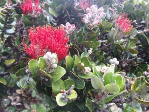 'Ohia flowers on the Big Island. Photo by J. B. Friday, UH