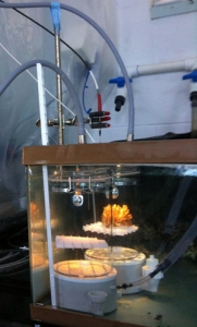 Adult corals were placed in closed chambers to measure physiology. Photo by Hollie Putnam, HIMB