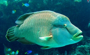 A large Napoleon wrasse on a reef. Large fish may become less common on reefs that experience impacts of fishing, which can alter ecosystem function. Photo by NOAA Pacific Islands Fisheries Science Center Coral Reef Ecosystem Division