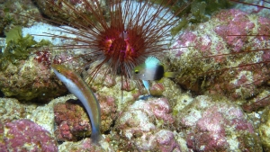 Rare fishes at Kure. Photo NOAA