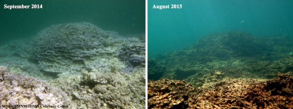 Lisianski Island, the site of a severe coral bleaching last year. The purple rice coral Montipora dilatata used to cover 70 percent of the reef at this site, but since the bleaching was documented 11 months, 99 percent of this coral species died. The picture at right shows the dead corals overgrown with algae, though they may provide habitat for new corals to grow. Photo by Courtney Couch
