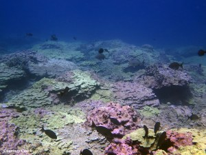 Corals at a southern site at Lisianski Island were previously bleached in 2014, but showed signs of recovery in August 2015. Photo by Courtney Couch