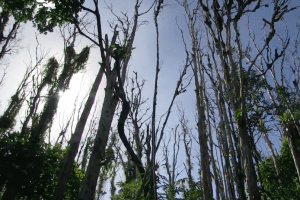 'Ohi'a trees affected by the disease on the Big Island. Frame grab from DLNR video