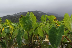 Taro plants in Hanalei.
